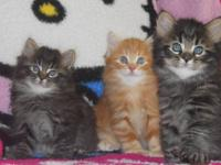 We have 3 BEAUTIFUL purebred Maine Coon kittens