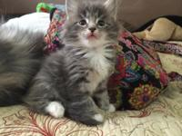 I have 2 gorgeous blue Maine Coon Kittens offered. One