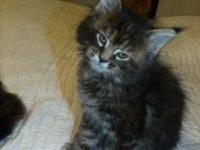 These are beautiful full blooded Maine Coons. 8.5 weeks