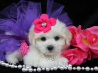 These beauties are Mal-Shi (1/2 Maltese/1/2 Shih-Tzu).