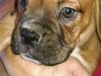 Beautiful male AKC boxer puppy ready for his forever