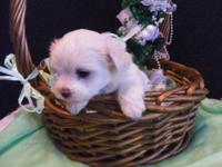 I have one Akc male Maltese pup left with out a