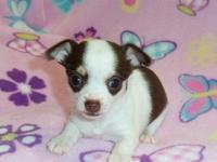Beautiful male and female Chihuahua puppies.We are