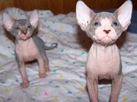 We do have adorable Sphynx kittens ready to go to any