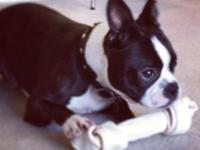 This is a beautiful, healthy 4 year old Boston Terrier