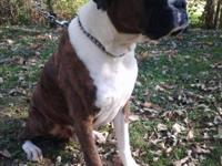I have a big beautiful boxer for sale. He is brindle