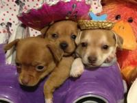 We have 5 of the cutest little male chihuahua new
