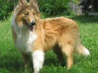 We are selling our beautiful male sable and white