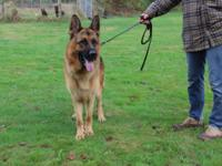 I have a one year gorgeous male gsd. He is from a