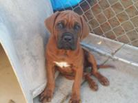 I have a beautiful male French Dosa Mastiff pup looking