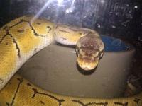 for sale is my male ghost ball python he is bright