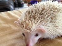 Beautiful and friendly little boy hedgehog. He is light