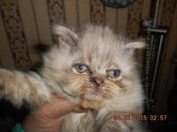 cute pure bred male himalayan his mother is a flat face