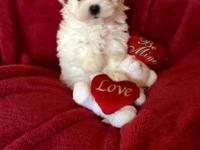 AKC male Maltese dob December 28 utd on shots worming