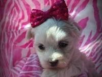 Beautiful female maltese. Hypoallergenic and does NOT
