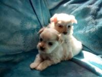 Sweet Maltese boys will be looking for their new