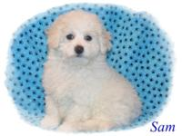 Lovely Male Maltipoo puppies. These young puppies will