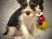 Beautiful Male Mini Schnauzer pup from toy tcup lines.