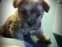 Absolutely beautiful male morkie. Very sweet and gentle