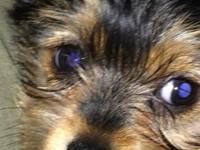 I have a beautiful Male Morkie that is available for a