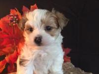 beautiful morkie puppies parents on site shots and