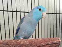 Gorgeous blue Parrotlet. He is not hand tame but is not