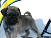 This gorgeous boy is an eight week old purebred Pug