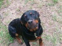 Very Sweet Male Rottweiler-8 Months Old-Raised with