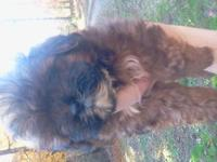 I have 3 beautiful male shihpoo puppies for sale 2