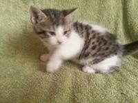 I have 1 male Sphynx and Bengal hybrid kitten to find a