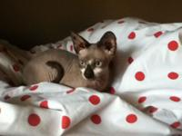 Two cute male sphynx kittens are now ready for