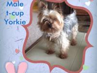 This is the perfect t-cup Yorkie in every way. This