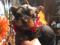BEAUTIFUL MALE YORKSHIRE TERRIER AND POMERANIAN MIXED..
