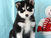 BEAUTIFUL males and females pomsky puppies with sweet