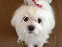 Beautiful Maltese almost 3 years old. She is house