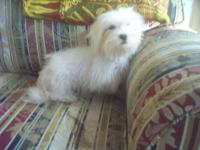 BEAUTIFUL MALTESE MALE PUPPY, AKC, 5 MONTHS OLD, WEIGHS