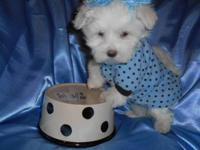 I have12 weeks old beautiful Maltese puppies 2 females