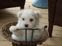 Beautiful maltese puppies, CKC registered UTD on their