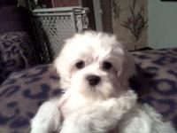 Sweet,Loving full blooded Maltese puppy available to