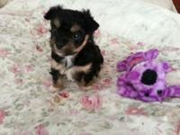 Gorgeous baby Morkie woman Fiona, is offered to a