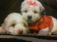 Hi i have a maltipoo boy and girl there 8 weeks eating