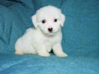 I have 3 Male Maltipoo's ready for adoption. They are