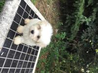 beautiful maltipoo puppies available now! All up to