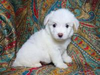 I have 5 adorable Male Maltipoo puppies looking for a
