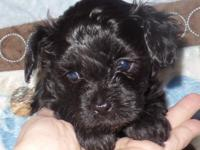 Beautiful,sweet spirited Maltipoo available in
