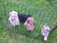 First generation maltipoo puppies. Male and female.
