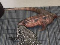 Sweet female red tegu, good with other tegus, eats