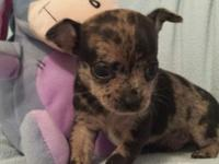 Parker is a beautiful Merle male Chihuahua puppy