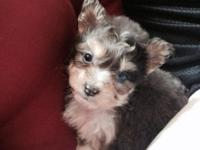 Beautiful male Yorkie puppy. Shots to date dewormed.has