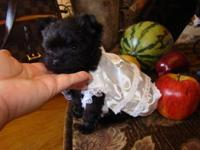 BEAUTIFUL EXTRA TINY MICRO TEACUP YORKIE/POODLES female